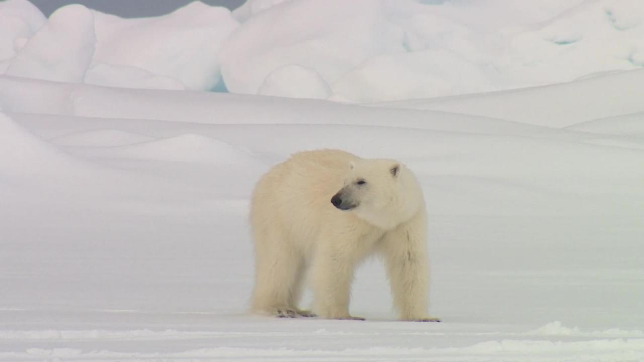 Polar bear, wandering